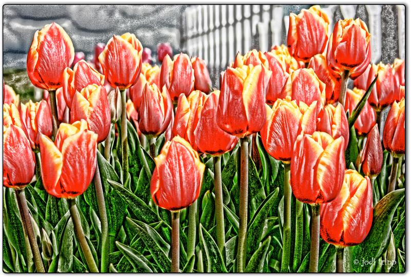 tulips textured.jpg