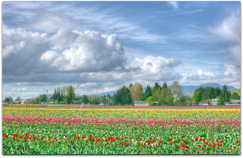 Woodland Tulip fields .jpg