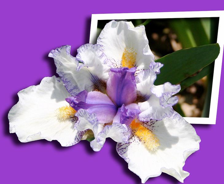 Iris on purple
