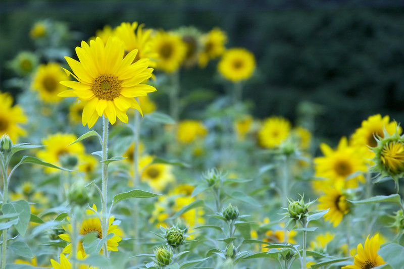 sunflowers 2008
