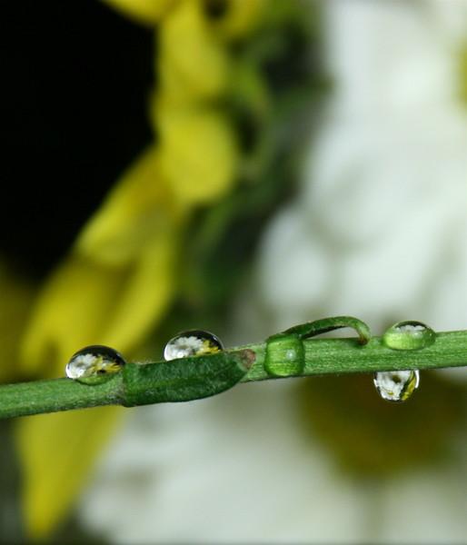 daisy drops spring 08