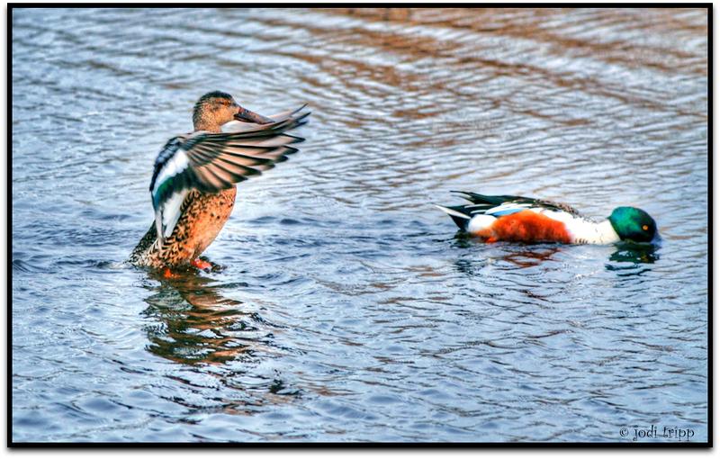 standing duck.jpg