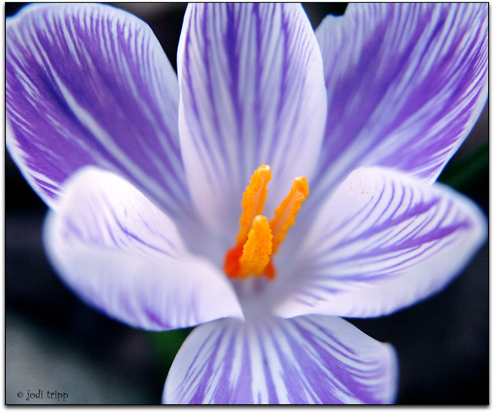 Crocus... Spring is Here!