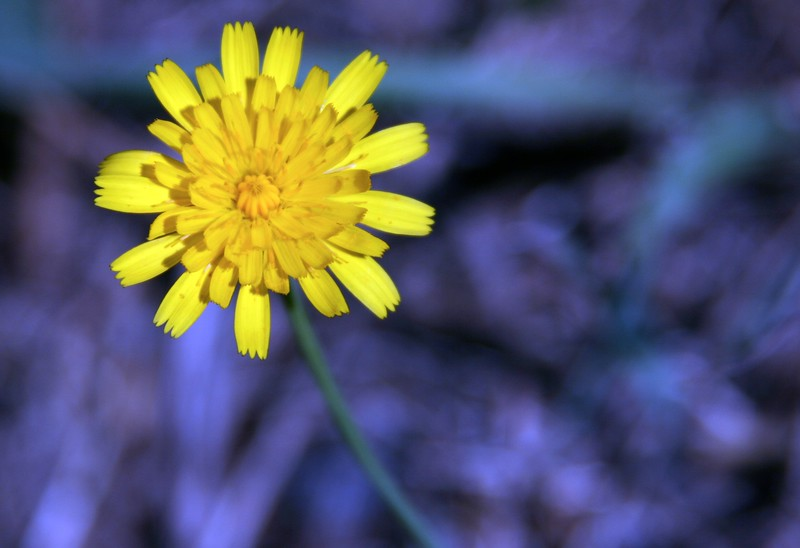 dandelion on Purple.jpg