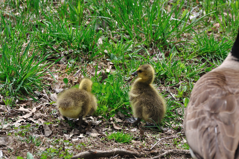 Geese_0004