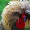 80's Metal Band Hair Rooster