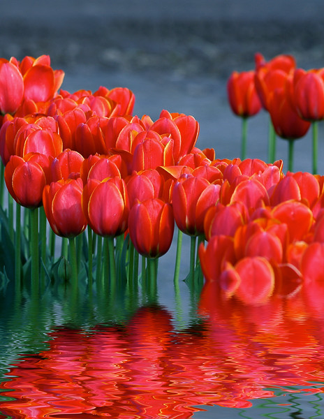 Tulips flooded more red.jpg