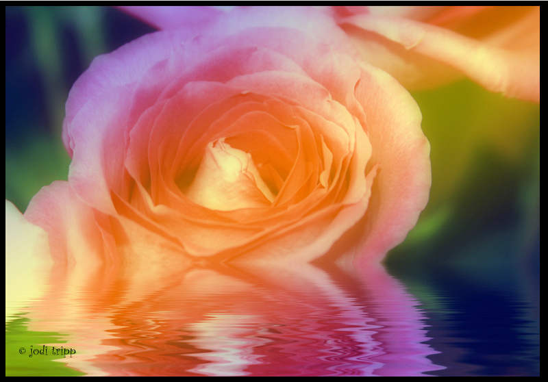colored rose reflected.jpg