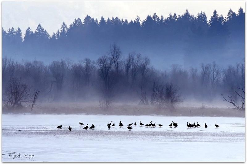 JodiTripp-Ducks.jpg