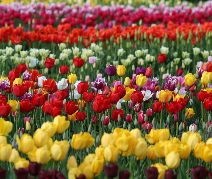 The Most Beautiful Tulips...