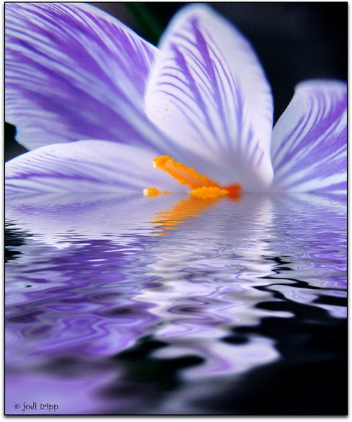 Crocus under water