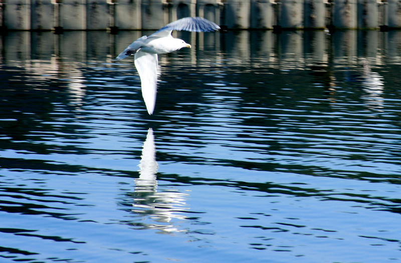 seagull reflected