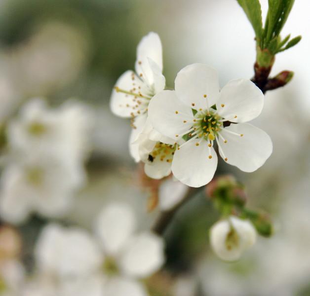 Cherry blossoms  square