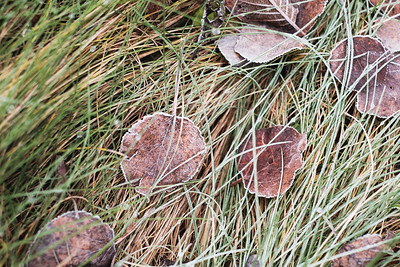 Frosted Leaves-DRSP5478.jpg