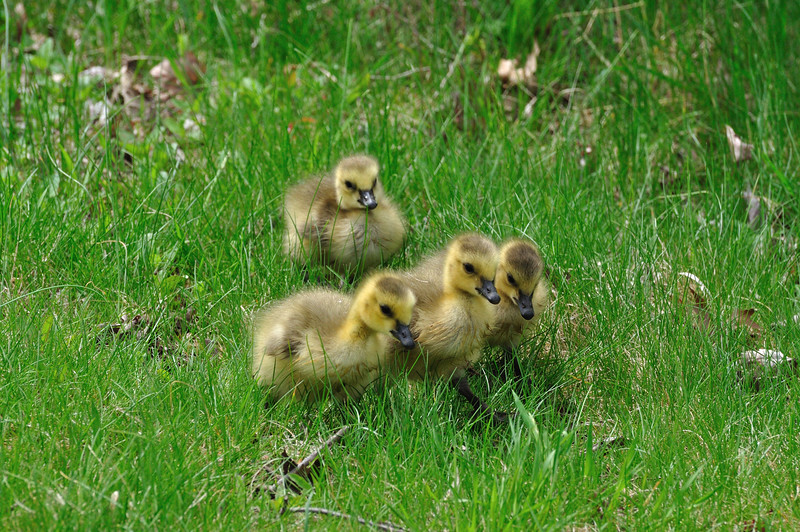 Geese_0005