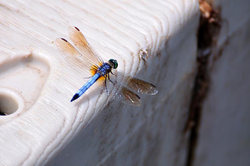 Dragonfly_20090823_0047