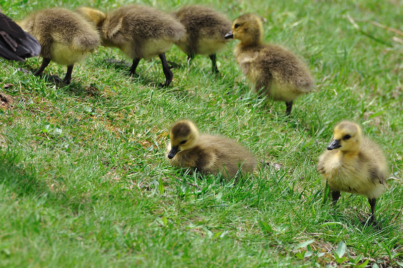 Geese_0001