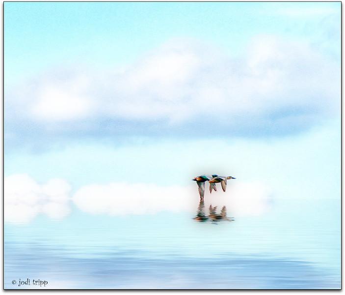 ducks flying over water.jpg