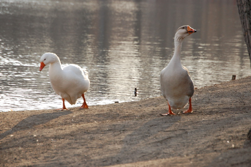 Strutting Ducks