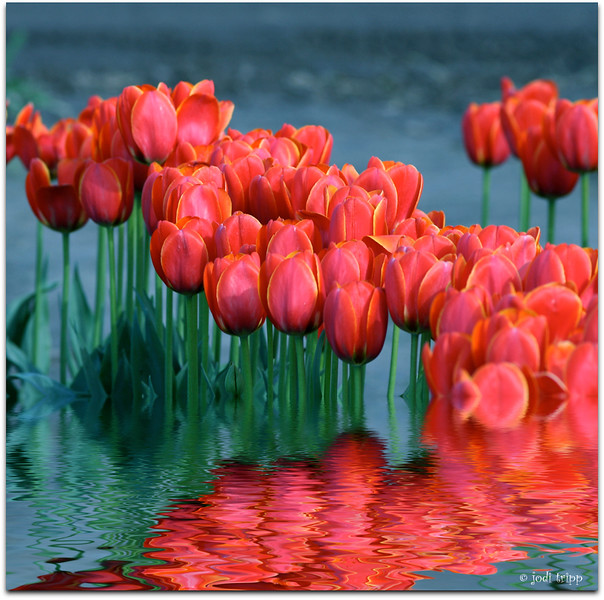 Tulips flooded.jpg