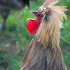 Rooster_20090818_0158