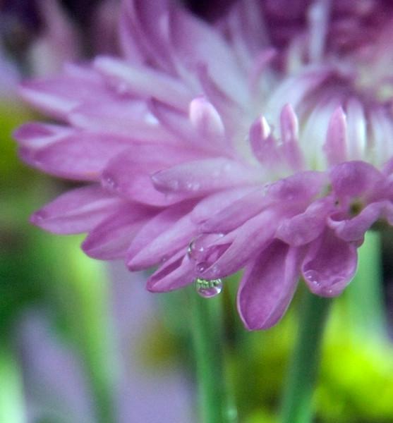 LILAC FLOWER MACRO