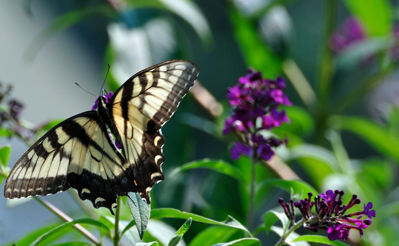 Butterfly20090816_0055