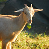 Goat_20090818_0096