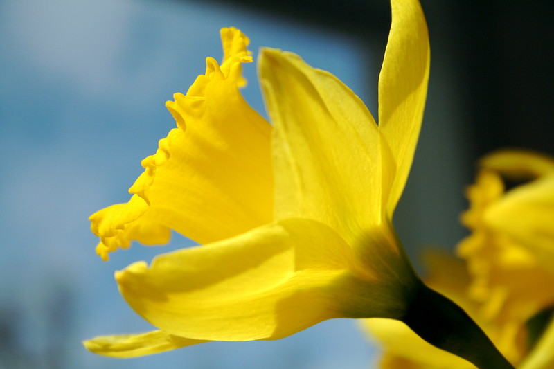 yet another,  attempt at a daffodil