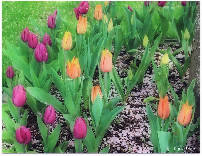 Tulips orton.jpg