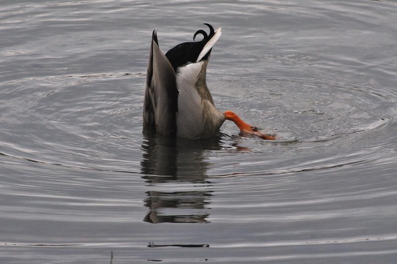 DuckUnder