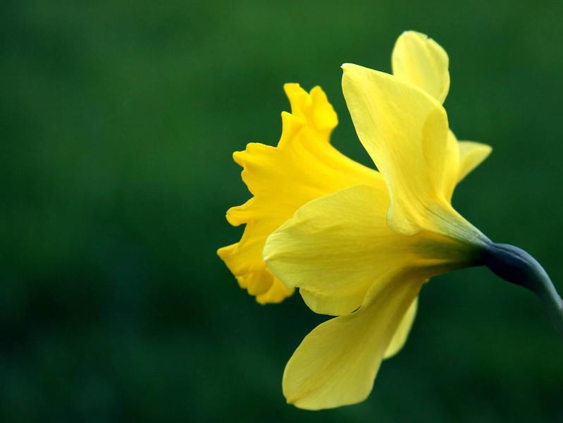 Daffodil on green