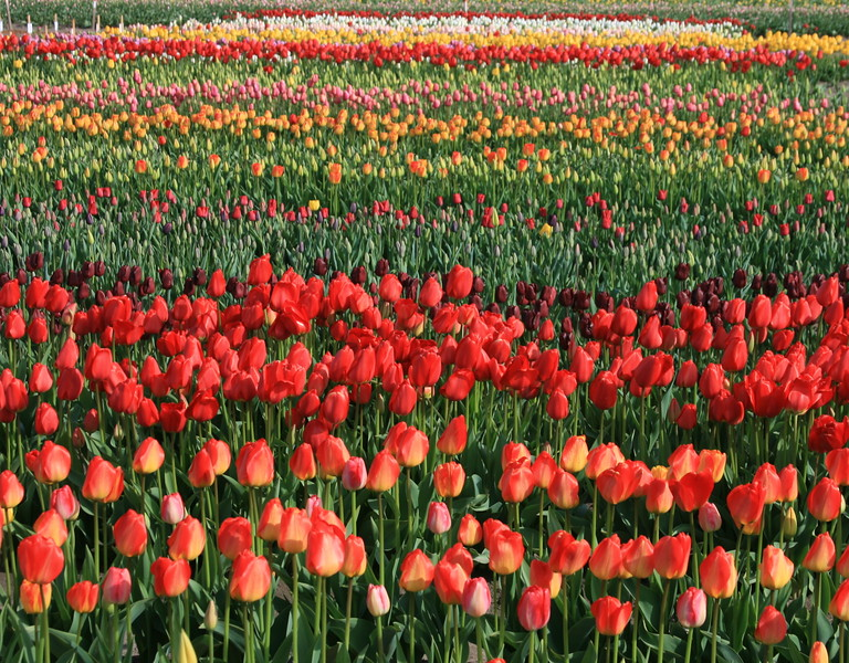 Colorful tulip field 08