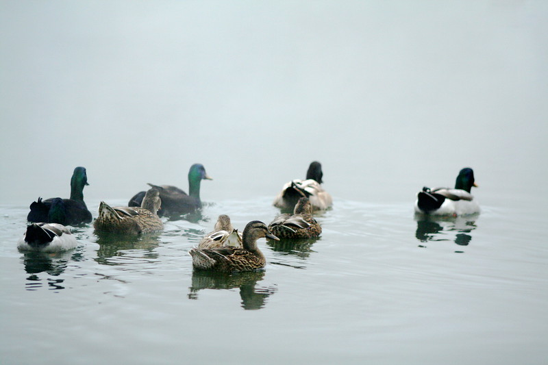 ducks arrive at the end of the earth...