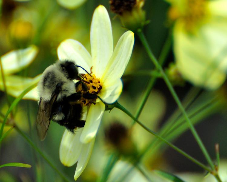 Bee_20090808_0077_Crop