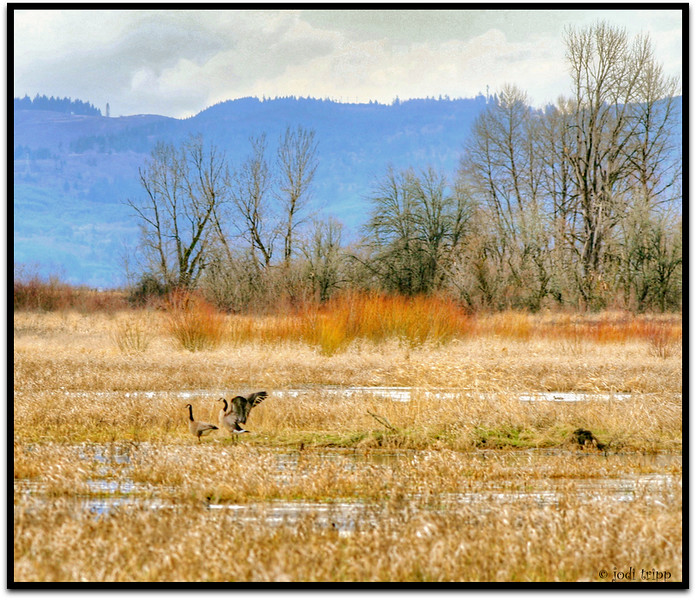 geese hdr.jpg