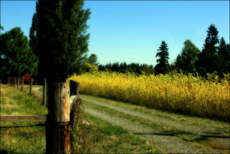 country road-sunflowers orton 2