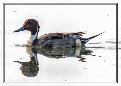 Pintail Duck 2