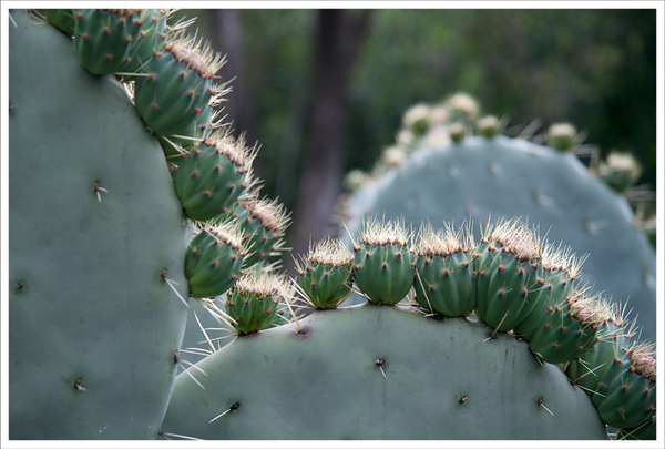 Prickley Pears