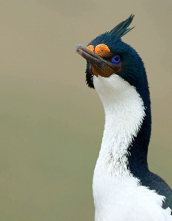 Cormorant, Antarctica