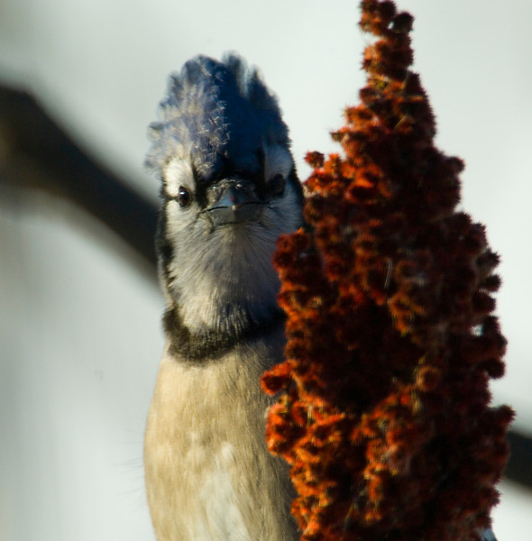 Blue Jay with a doo, Shorewood, MN