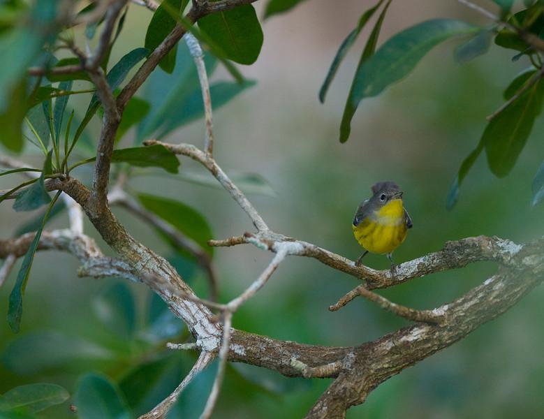 Warbler, Belize