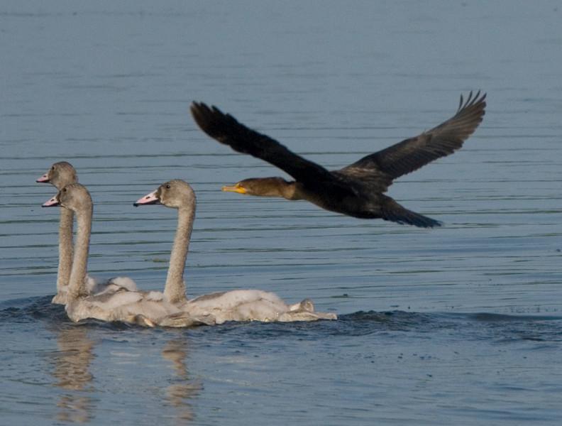 Cygnets and Cormorant, Carver Park