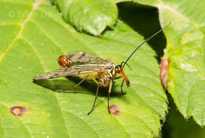 Scorpion Fly,