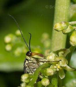 Scorpion Fly 3