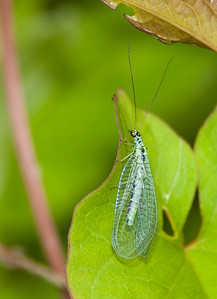 Green Lacewing 2