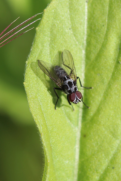 Root-Maggot Fly (Anthomyiidae)