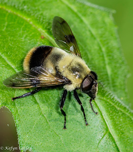 Diptera: Syrphidae: Volucella bombylans complex, Bombus mimic