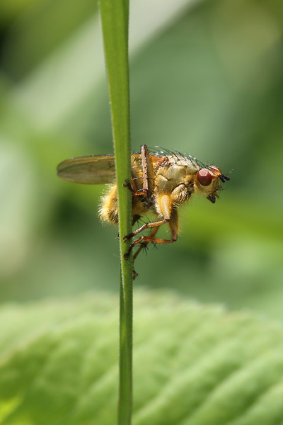 Golden Dung Fly (Scathophaga stercoraria)