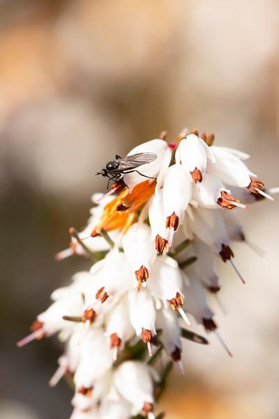 Dance Fly (Empididae)